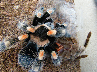 Anansi Brachypelma smithi