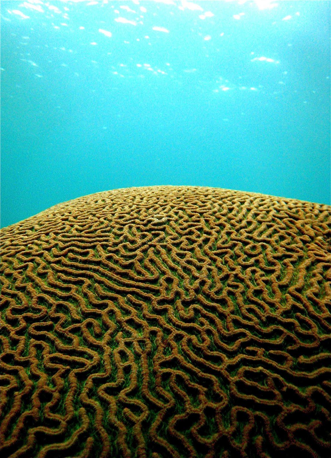Marine Life Of Puerto Rico Coral Species