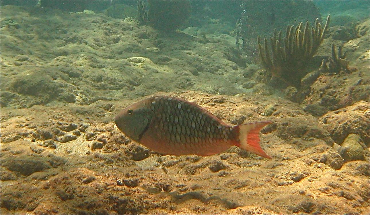 Marine life of puerto rico fish species for Fish in spanish