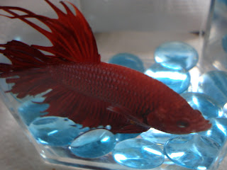 betta splenden