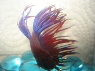 crown tail betta