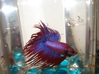 purple crowntail betta