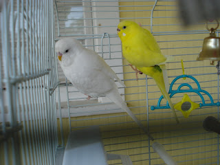 Two budgies take a vacation!