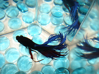 crown tail betta splenden