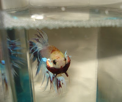 crowntail betta and bubble nest