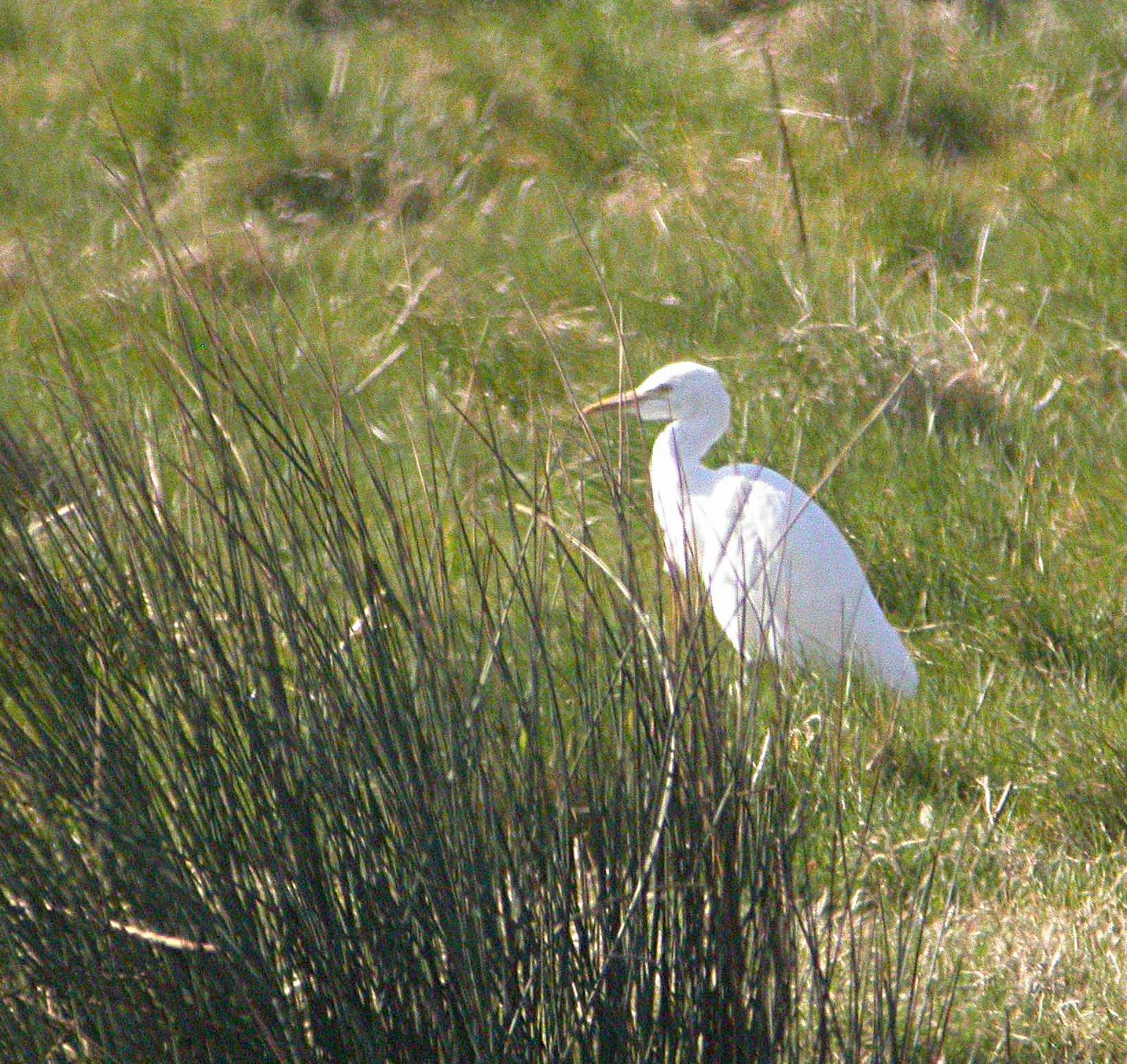 [Cattle+Egret+WWT++27+March+MJMcGill+019.jpg]