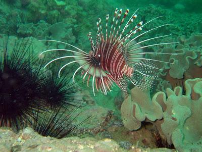 The beautiful but dangerous Stonefish