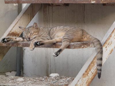 A street cat lies on a step in Qatar.