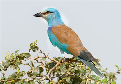 A European Roller poses gracefully in the leaves of a tree.