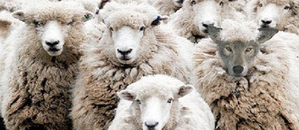 christ sends us out as sheep