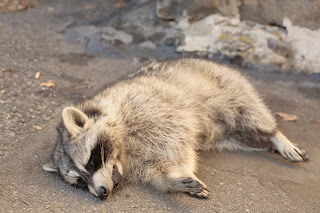 I Found A Dead Raccoon In Our Backyard This Morning. Rabies? Poison? I  Havenu0027t Figured Out What To Do With It Yet. I Called The Local Health  Department And ...
