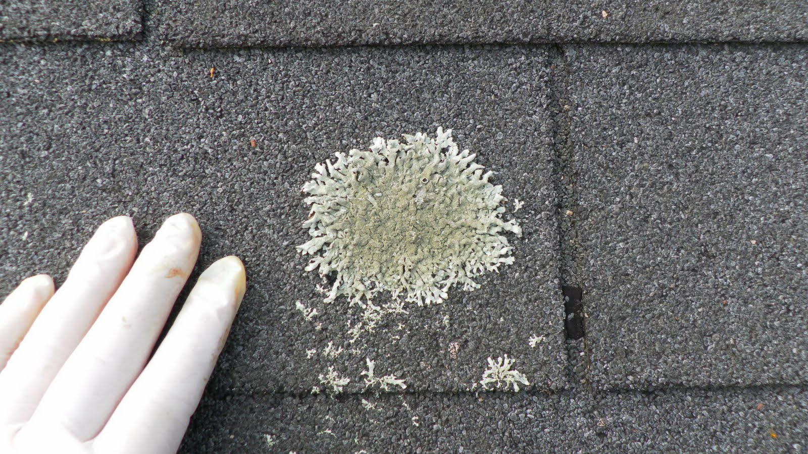 High Quality How Does Roof Fungus Destroy A Shingle?