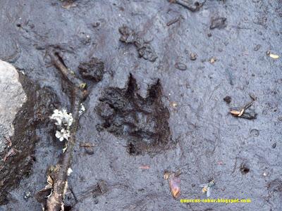 Huellas de mamífero en el bosque subcaducifolio - Nasua narica