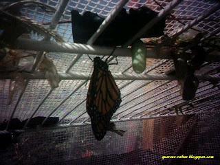 Mariposa Monarca en el parque metropolitano