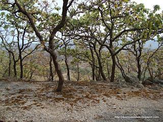 Bosque de encinos, musgo y lugar de acampado
