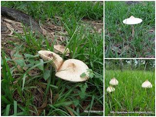 Chlorophyllum molybdites - Hongo Loco