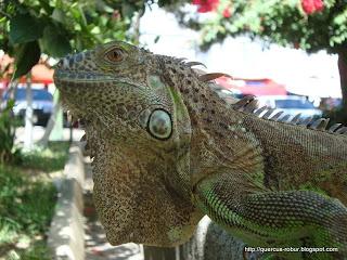 Lechuga, la iguana de tres años de vida