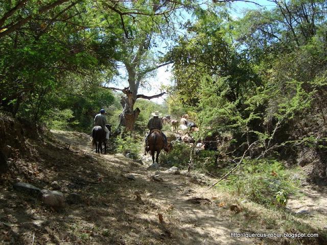 Lugareño y el ganado