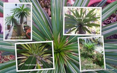 Pachypodium lamerei - Palma de Madagascar
