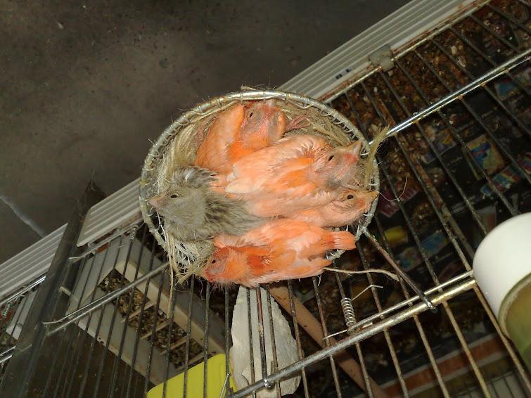 Mais umas fotos dos meus pasarinhos deste ano e fotos do canaril e das minhas femias no choco