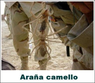 araña camello