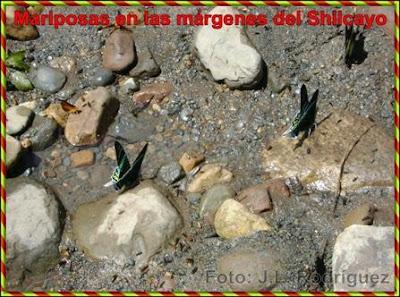 mariposas en el rio shilcayo