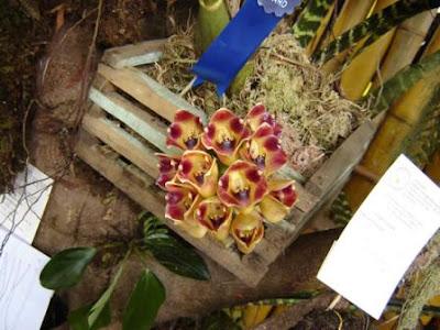 encydia angustiloba, orquidea