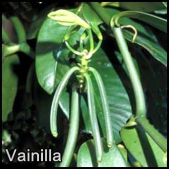 orquidea vainilla- foto de elicriso