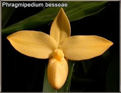 orquidea phragmipedium besseae_foto de peru orchids