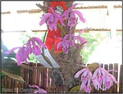 cattleya maxima en el xiv festival de la orquidea 2009 (moyobamba)