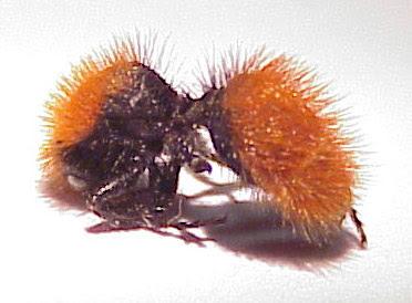 Mutillidae  Wikipedia