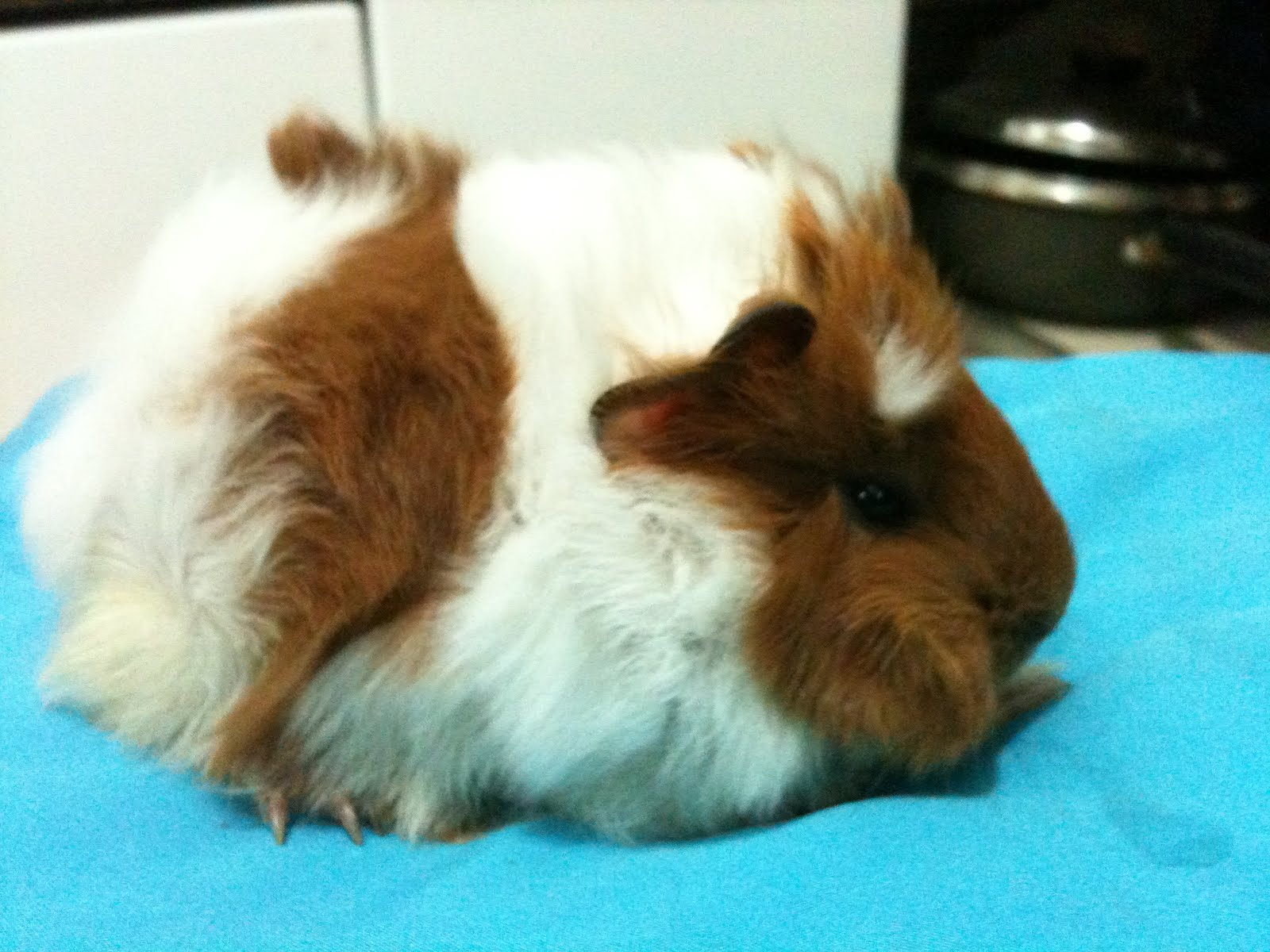 how to take care of your pregnant guinea pig