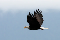Eagles in Seabeck, WA
