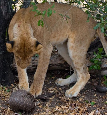 Lion Tries to Eat a Pangolin but Fails  Seen On  www.coolpicturegallery.us