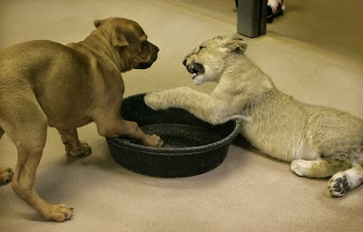 Baby Lion Wrestling with Puppy Seen On www.coolpicturegallery.us