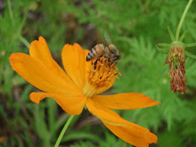 Abeja y flor de Cosmos