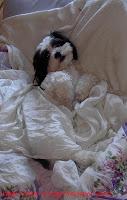 Shitzu takes a nap in luxury