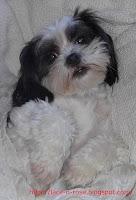 Cuddled up Shtizu Pup