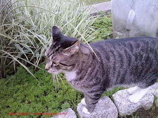 Wyatt, the tiger cat in the garden