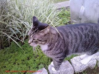 Wyatt, the tiger cat in the garden