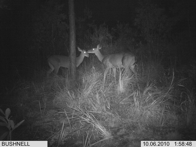 Trail Cam Pics Of Deer http://trophy-hunting.blogspot.com/2010/10/bow-season-report-florida-2010-8.html