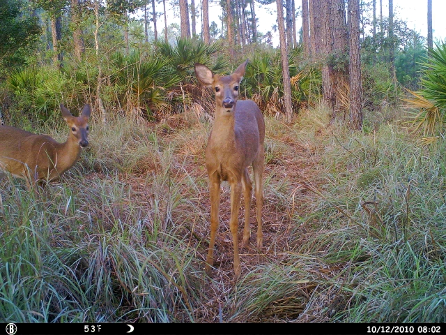 Trail Cam Pics Of Deer http://trophy-hunting.blogspot.com/2010/10/bow-season-report-florida-2010-14.html