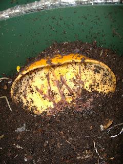 worm wigwam feeding