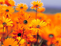 garden flowers, black eyed susan daisy