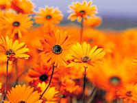 garden flowers, black eyed susan daisy