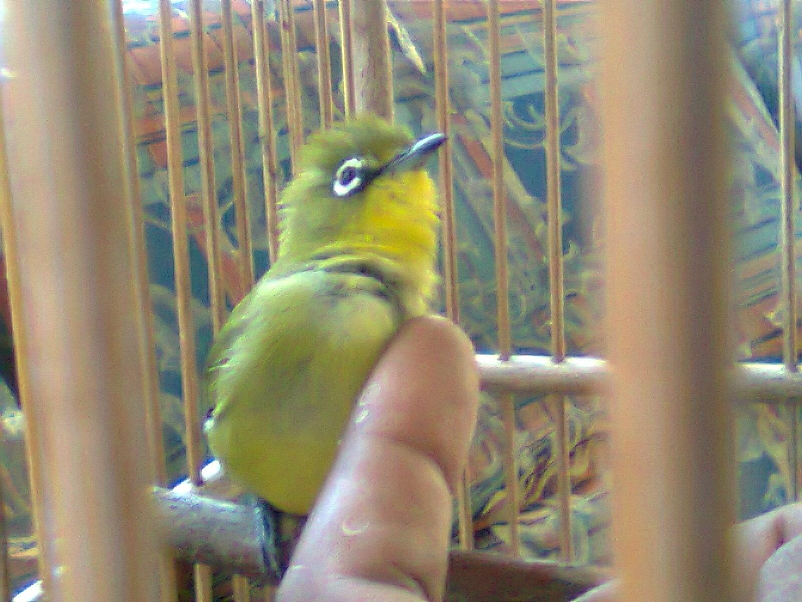 Poskicau Burung Pleci Kacamata Biasa