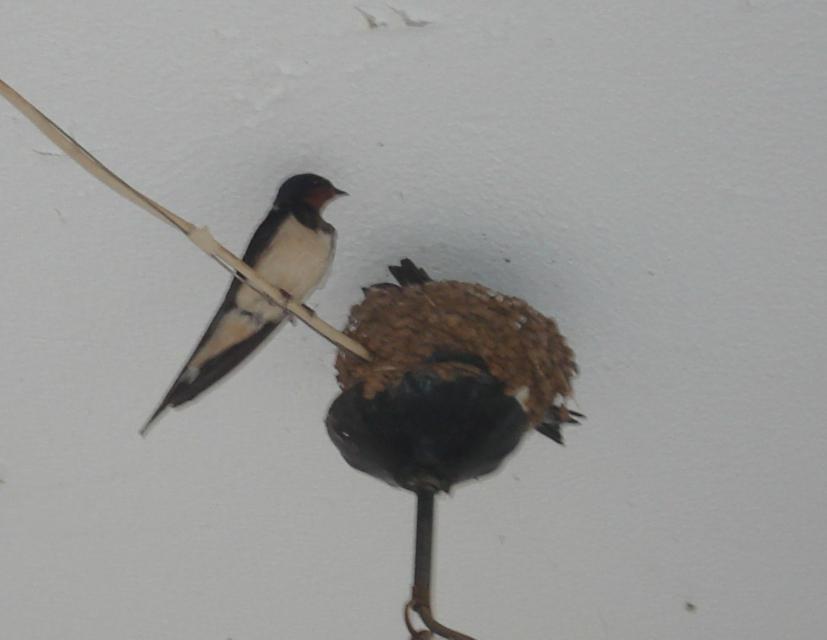 Τα αποδημητικά πουλιά, κατά κανόνα