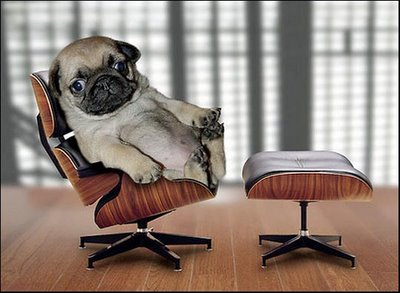 Pug On a Classic Eames Chair