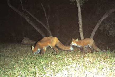Pair of red foxes (Vulpes vulpes), Oct. 5, 2007. Photo by Chas S. Clifton