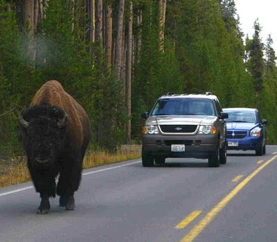 Buffalo in the road. Yellowstone Park. Oct. 2, 2008. Photo by Chas S. Clifton
